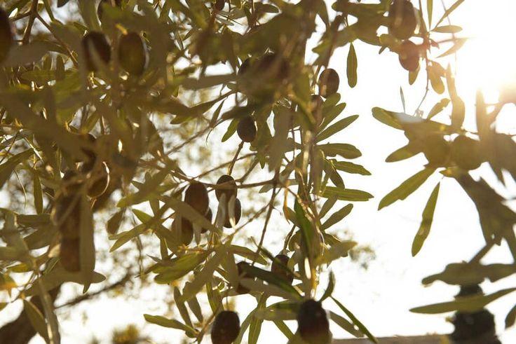 Olive tree at Sani Resort Green Area.  Location: Halkidki, Greece
