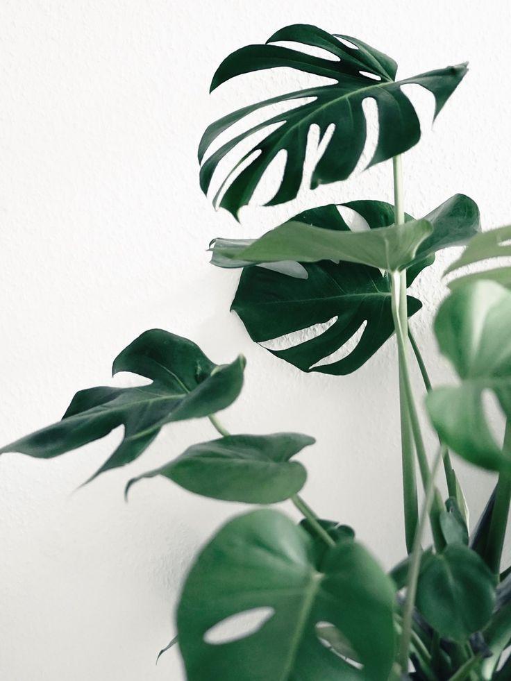 Monstera - Pflanze für dunklen Standort. Wenn sie eingeht, kann man nur noch Seidenblumen nehmen. Sie benötigt nämlich nur 300 Lux.