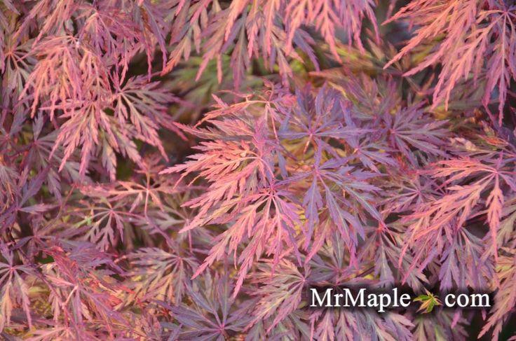 Buy Acer palmatum dissectum 'Orangeola' Japanese Maple – Mr Maple │ Buy Japanese Maple Trees