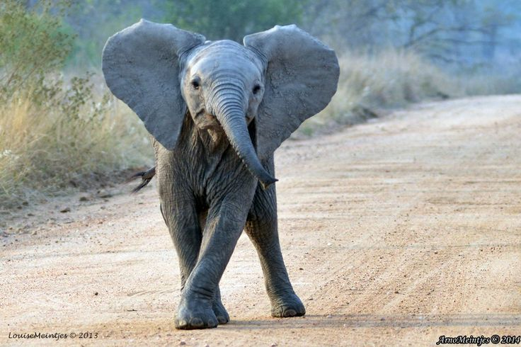 Young elephant in the road
