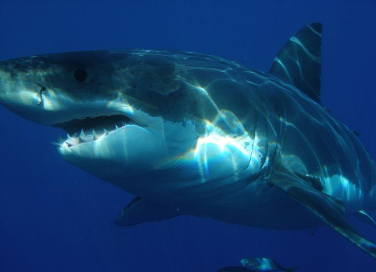 Dos tiburones en las costas alicantinas - http://www.absolutalicante.com/dos-tiburones-en-las-costas-alicantinas/