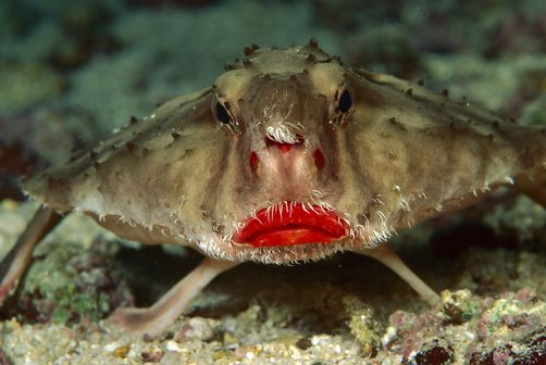 Rosy-lipped Batfish (Ogcocephalus sp) portrait, 100 feet deep, Cocos Island, Costa Rica