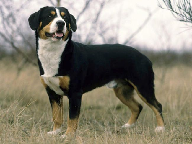 Entlebucher Mountain Dog - Entlebucher Sennenhund  Différent que le Greater swiss mountain dog ( en quoi?? en taille?)