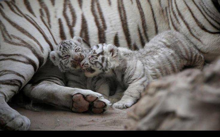 Παιχνίδι στο ζωολογικό πάρκο. Νεογέννητες λευκές τίγρεις της Σιβηρίας παίζουν δίπλα στη μητέρα τους σε ζωολογικό πάρκο στην πόληΣιουδάδ Χουάρες στο Μεξικό.