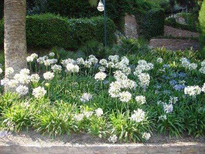 Agapanto, Flor del amor, Lirio africano, Agapantos, Flores del amor. Agapanthus africanus. Descripción: Familia de liliácea...