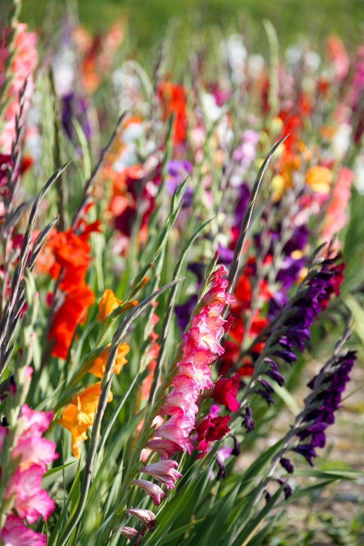 Was Gladiolen zu vielseitigen Allroundern in Ihrem Garten macht und was Sie beim Pflanzen beachten sollten, lesen Sie hier.