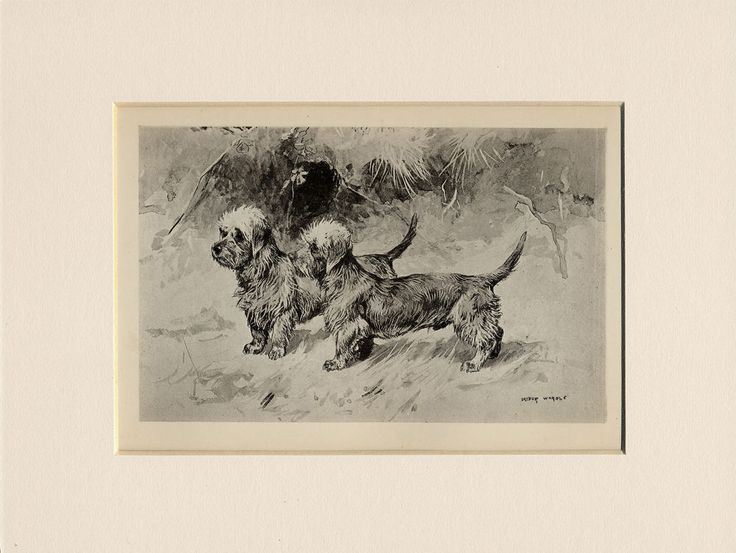 DANDIE DINMONT TERRIER 1894 ANTIQUE DOG PRINT by ARTHUR WARDLE READY MOUNTED