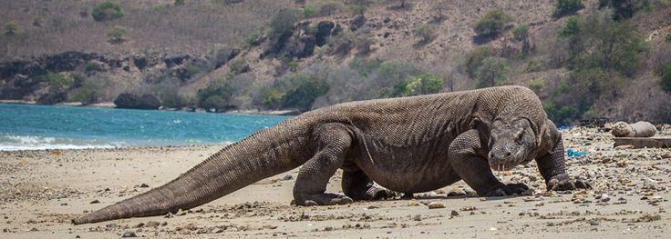 Rinca Island One Day Tour | Komodo Tours | Komodo Tour Packages | Flores Komodo Tours