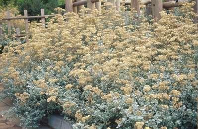 Helichrysum petiolare asthma high blood pressure pain killer