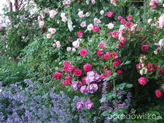 Kolorowy ogród na piasku - strona 510 - Forum ogrodnicze - Ogrodowisko