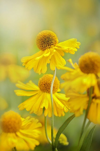 Vintage Gathering Wedding Flowers: Helenium- can make for an interesting arrangment to decorate your venue with bright colours