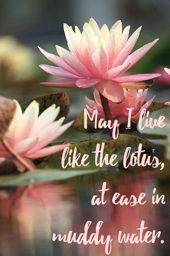 May Live Like The Lotus Ease Muddy Water Flowers Amazing Lilies