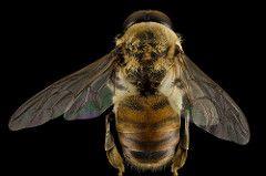 drone bee head - Google Search