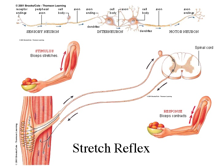 nervous system influence in shaping behaviour For more notes and information on the relationship between the nervous system and behavior, please visit .