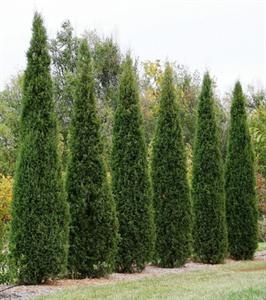 This stately Eastern red cedar was discovered in Taylor, Nebraska. Its tall, slender form, reminiscent of Italian cypress, earned it its spot in this program. It can grow up to 25 feet tall but only 3-4 feet wide, which means no pruning. These elegant trees, with beautiful blue-green needles, often are planted on either side of an entryway for a formal look. They are also effective in creating privacy screens. Zones: (3b) 4-9