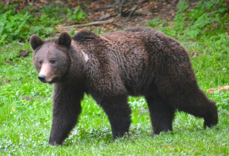 Brown bear, young female, Carpathian Mountains, Romania.  #BrownBear #BrunBjørn  #Carpathians #Romania #AlbatrosTravel #EuropeanWildlife #HenryRasmussen