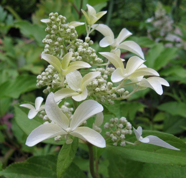 ~Hydrangea paniculata 'Great Star'