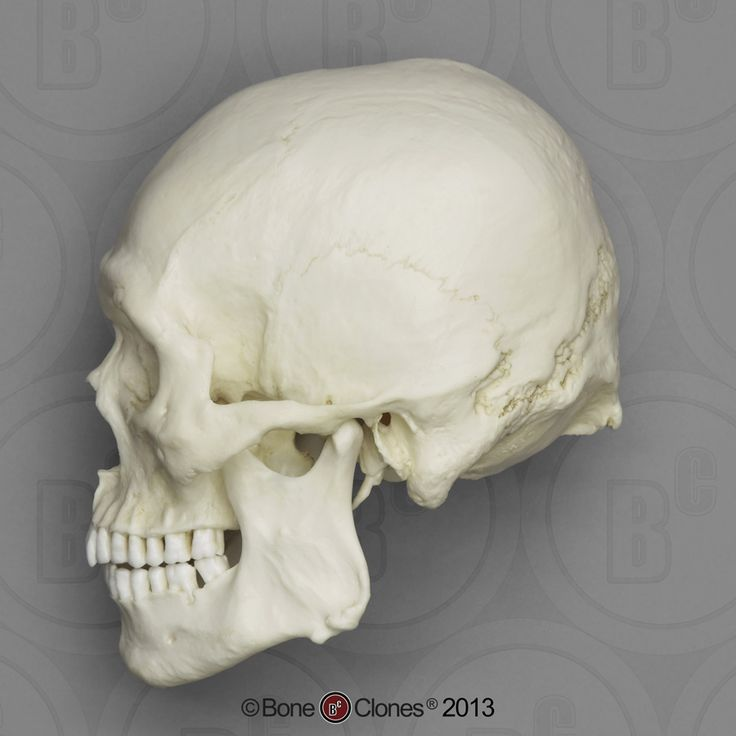 Human Male Asian Robust Skull2