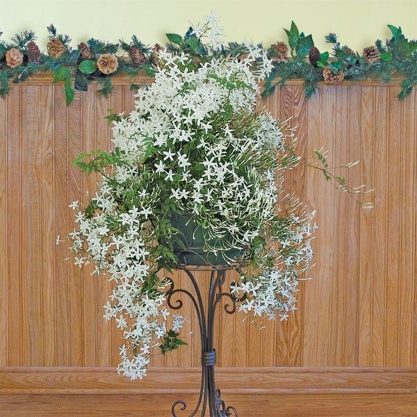 17 best images about flowers jasmines on pinterest. Black Bedroom Furniture Sets. Home Design Ideas