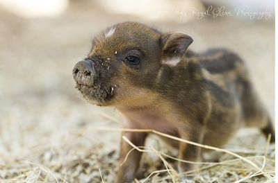 I went to a farm in Savannah and was able to photograph these cute Juliana Pigs.  They are the smallest of all miniature pigs, and they were too CUTE.