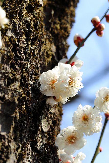 Prunus mume(Ume) 'Gekkyude'「月宮殿」 on Flickr.