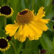 Helenium The Bishop
