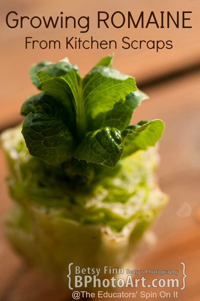 Gardeing with Kids INDOORS: Growing Romaine Lettuce from Kitchen Scraps By Betsy Finn Photography