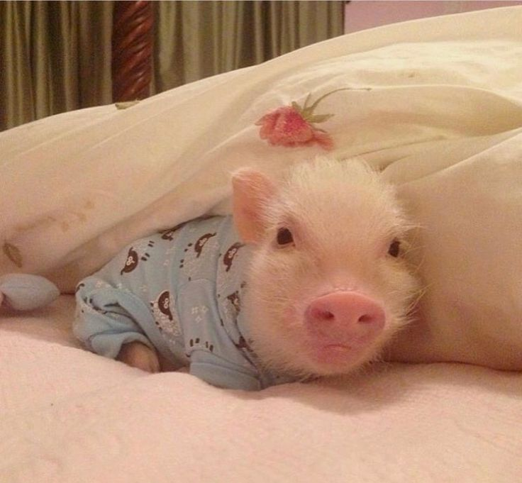 This would be our spoiled pig