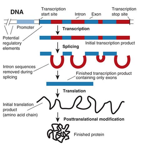 Gene expression is the process by which genetic instructions are used to synthesize gene products. These products are usually proteins, which go on to perform essential functions as enzymes, hormones and receptors, for example. Genes that do not code for proteins such as ribosomal RNA or transfer RNA code for functional RNA products.