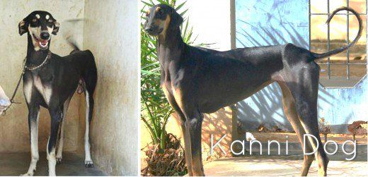 11 Most Dangerous Indian Dogs Dogs Dog Breeds Animals