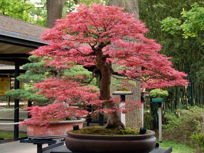 341 besten bonsai bilder auf pinterest bonsai blume und landschaftsbau. Black Bedroom Furniture Sets. Home Design Ideas