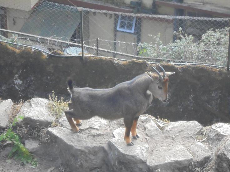 Himalayan Goral