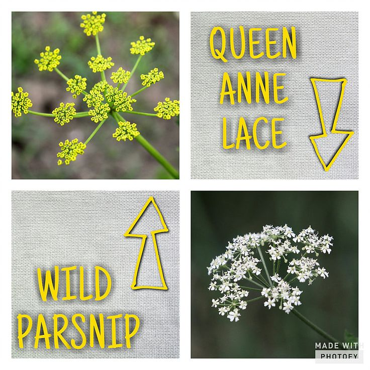 Skeletonex | SAFETY ALERT: Wild Parsnips  Wild parsnips looks similar to Queen Anne Lace, but differ in color and is highly poisonous!  Please read this article to become more knowledgeable on this plant and avoid wild parsnip rash, burns, and blisters that come from contact.