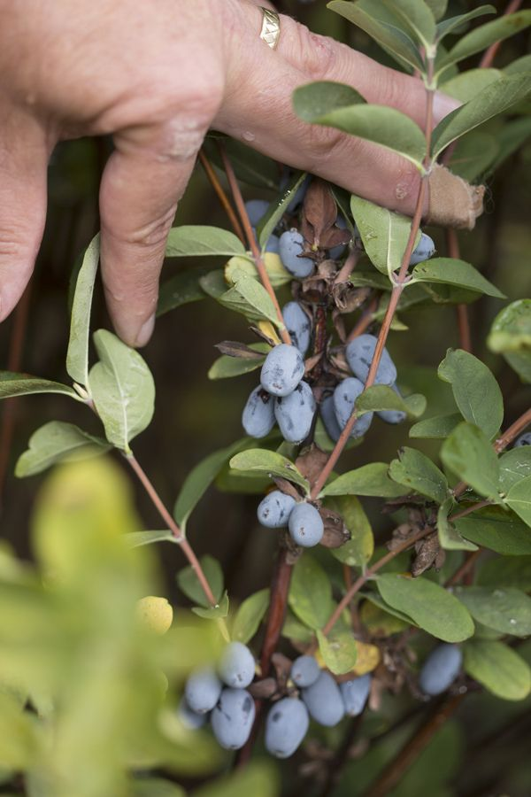 Better than blueberries? Introducing Canada's new super food — the haskap berry | National Post