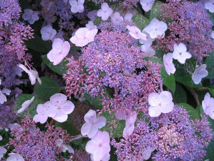 hydrangea aspera hydrangeas and shrubs on pinterest. Black Bedroom Furniture Sets. Home Design Ideas