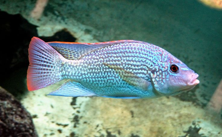 A cichlid from Lake Tanganyika, Oreochromis tanganicae (Günther), photographed at the Berlin Aquarium.