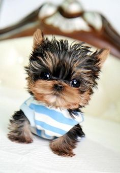 Micro Teacup Yorkie.. this has to be the most precious thing I have seen in a long time.. but my kiddos would probably hurt it some how.. they can be so rough sometimes