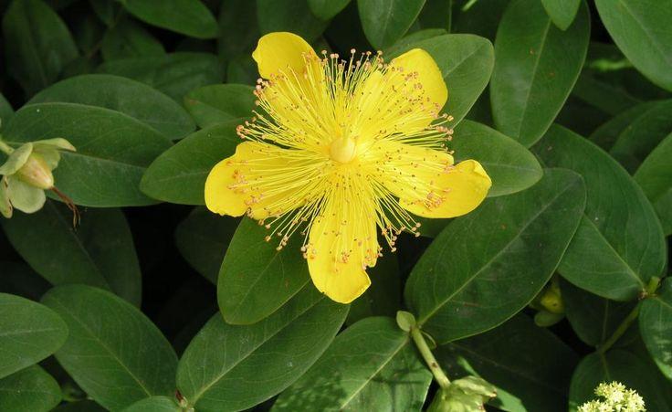 Das Teppich-Johanniskraut (Hypericum calycinum) ist ein immergrüner Halbstrauch, der sich rasch über Ausläufer verbreitet. Die Pflanzen kommen in voller Sonne, im Halbschatten und zur Not sogar im tiefen Schatten zurecht.