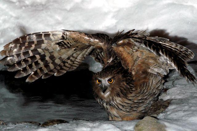 シマフクロウ Blakiston's fish owl (Ketupa blakistoni)