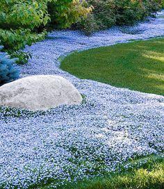Isotoma 'Blue Foot' - ist ein neuer Bodendecker, der keine Wünsche offen lässt! Er verzeiht problemlos, wenn man auf ihm läuft und blüht den ganzen Sommer lang.