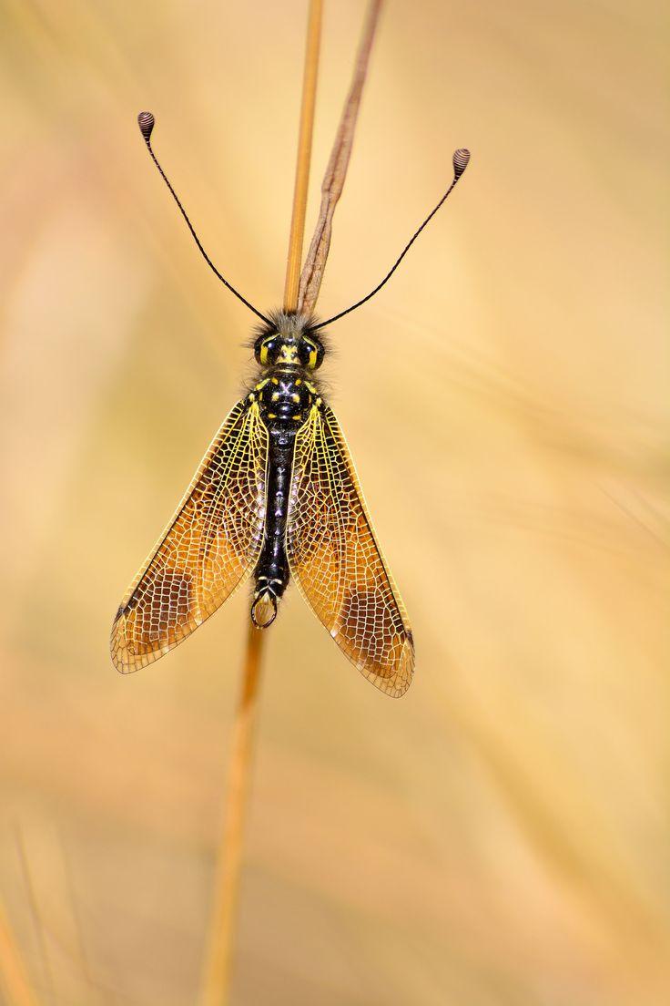 https://flic.kr/p/Upd52S | Libelloides ictericus