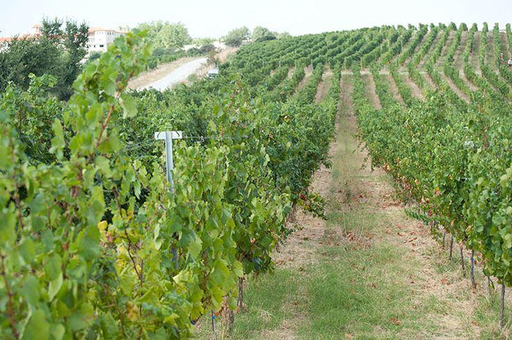walking in the vineyards..