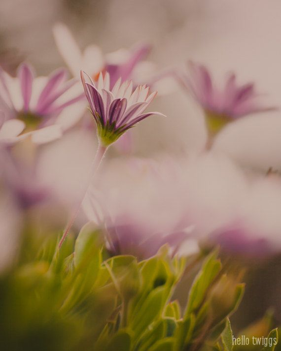 Hey, I found this really awesome Etsy listing at https://www.etsy.com/listing/229951029/pink-daisies-floral-photograph-ethereal