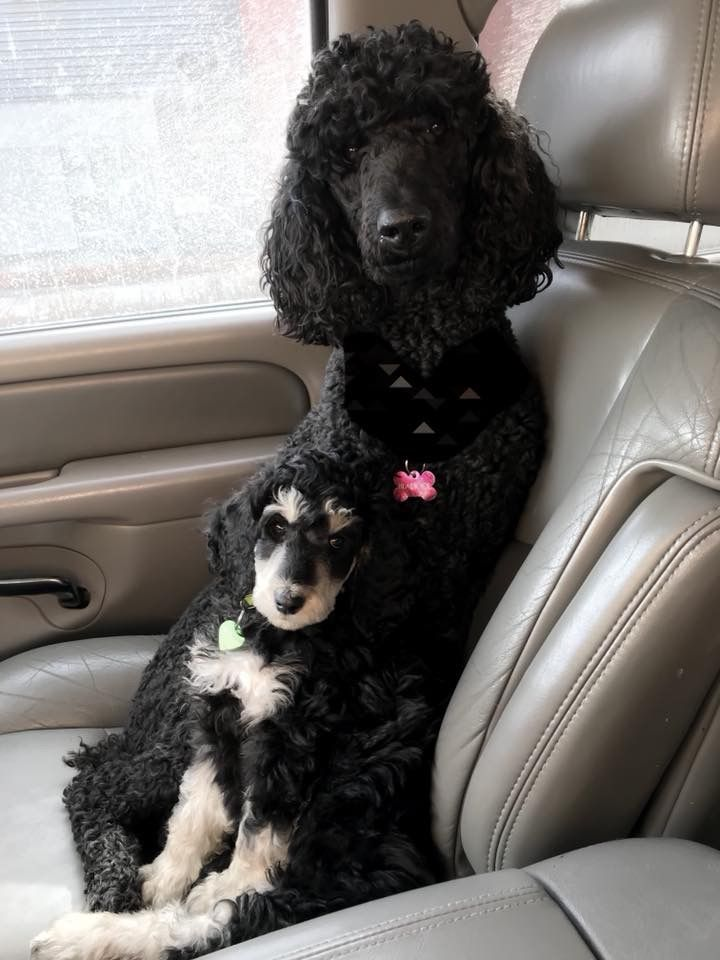 Almost Invisible Party Poodle Puppy Cute Dogs Dog