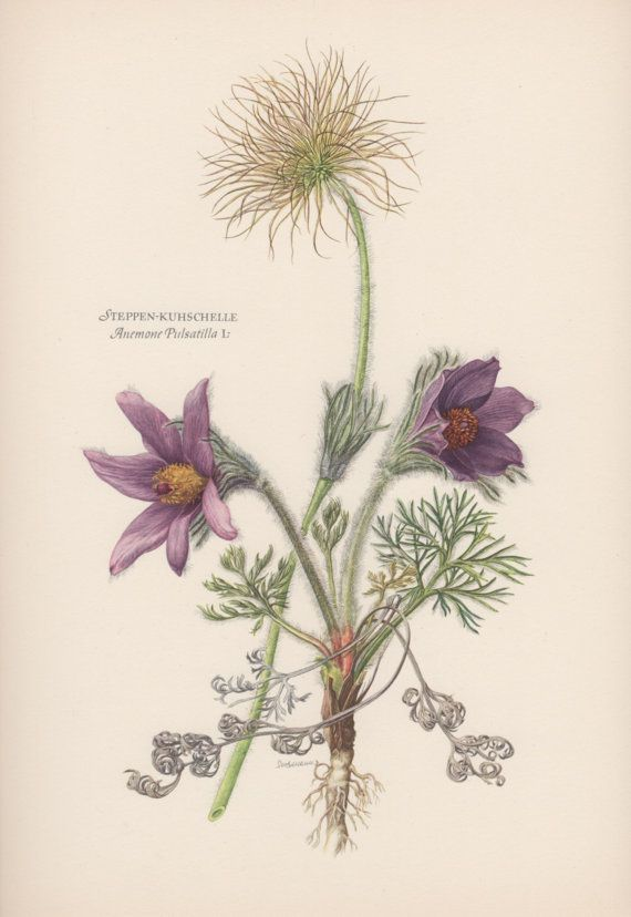 1950's Vintage Botanical Print Anemone by AntiquePrintGarden