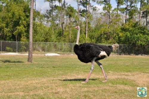 This ostrich is freely walking on the plain of Lion Country Safari Park from Florida