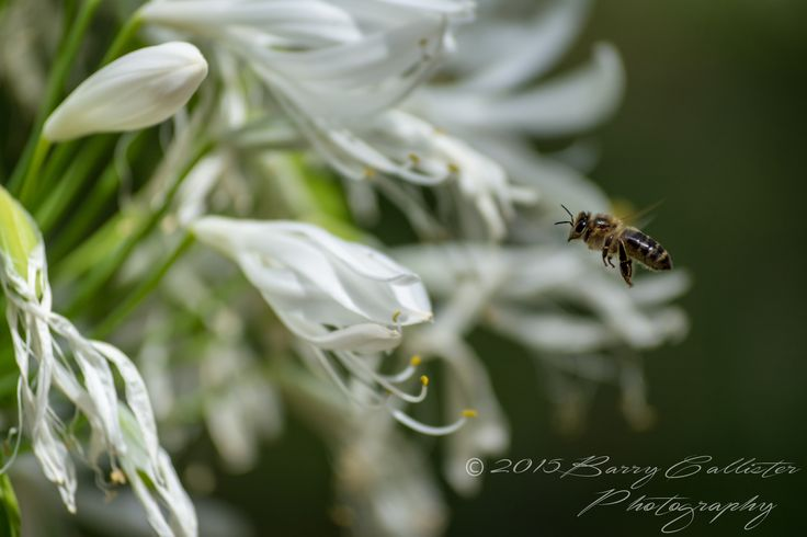 Currently, the only photo of a bee in flight that I've managed to capture....