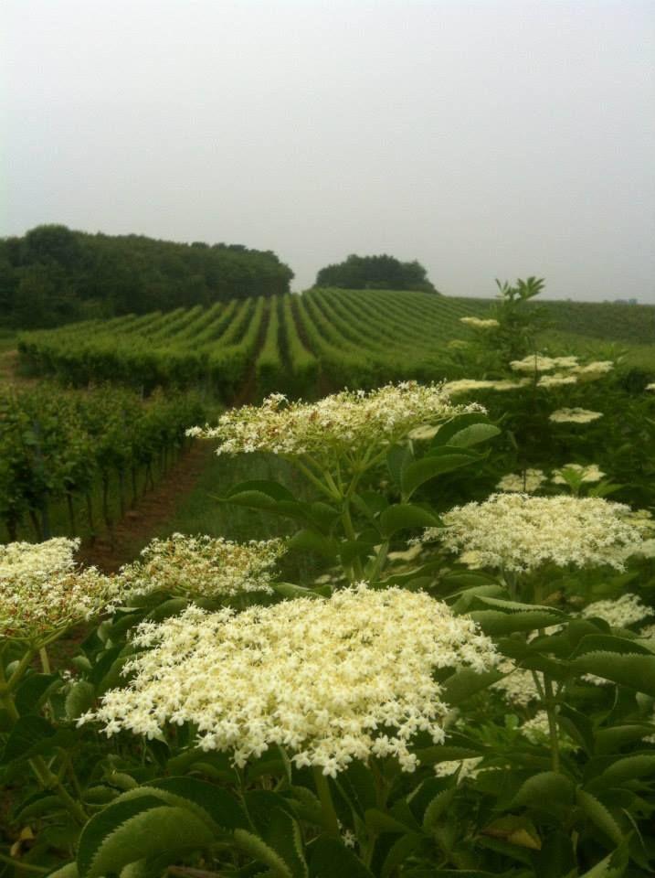 Die Holunderblüten für den Gustavshof Holunder Secco vor dem Weinberg des Gustavshofes.  Hier können Sie das Ergebnis kaufen: http://www.bioweinreich.com/suche/Gustavshof,%20holunder%20secco