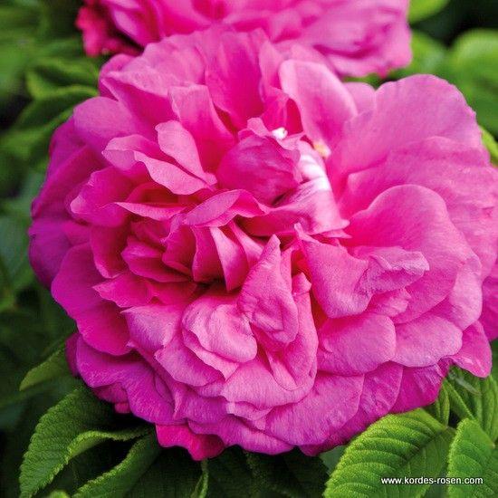 Die Schönsten Gärten Auf Der Welt Swabble: Die Besten 25+ Kordes Rosen Ideen Auf Pinterest
