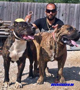 Dogo Canario de vanzare for sale - sevensharky